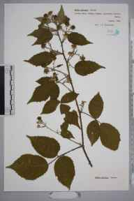 Rubus asperidens herbarium specimen from Savernake Forest, VC7 North Wiltshire in 1986 by Frank Hatton Brightman.