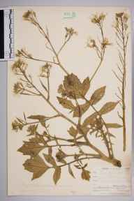 Raphanus raphanistrum subsp. maritimus herbarium specimen from Housel Bay, VC1 West Cornwall in 1899 by Mr Allan Octavian Hume.