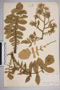 Raphanus raphanistrum subsp. maritimus herbarium specimen from Lizard Head, VC1 West Cornwall in 1899 by Mr Allan Octavian Hume.