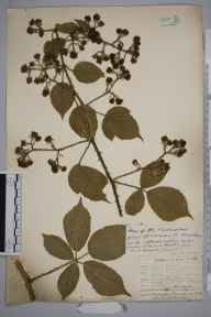 Rubus phaeocarpus herbarium specimen from Redding's Inclosure, VC35 Monmouthshire in 1904 by Rev. Augustin Ley.