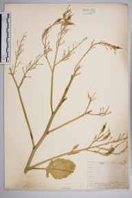 Raphanus raphanistrum subsp. maritimus herbarium specimen from Eastbourne, VC14 East Sussex in 1911 by Mr Allan Octavian Hume.