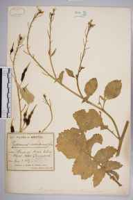 Raphanus raphanistrum subsp. maritimus herbarium specimen from Bristol, VC34 West Gloucestershire in 1889 by Mr James Walter White.