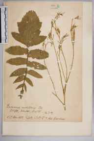 Raphanus raphanistrum subsp. maritimus herbarium specimen from Ventnor, VC10 Isle of Wight in 1917 by Charles Baylis Green.
