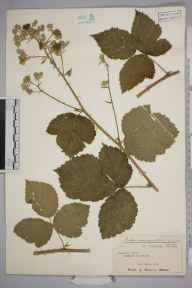 Rubus conjungens herbarium specimen from Coulston Hill, VC8 South Wiltshire in 1948 by Joseph Donald Grose.