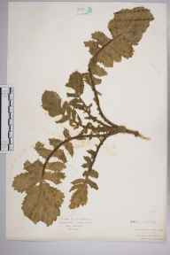 Raphanus raphanistrum subsp. maritimus herbarium specimen from Jersey, Saint Heliers, VC113 Channel Islands in 1928 by .