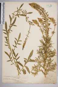Reseda alba herbarium specimen from Hugh Town, VC1 West Cornwall in 1862 by Mr Frederick Townsend.