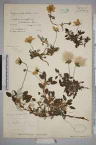 Dryas octopetala herbarium specimen from Caenlochan, VC90 Angus in 1934 by Mr Job Edward Lousley.