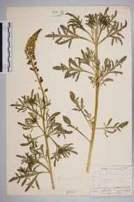 Reseda lutea herbarium specimen from Epsom Downs, VC17 Surrey in 1904 by Mr Allan Octavian Hume.