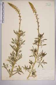 Reseda lutea herbarium specimen from Par Sands, VC2 East Cornwall in 1907 by Mr Allan Octavian Hume.