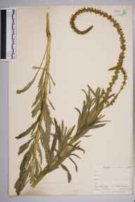 Reseda luteola herbarium specimen from Farleigh, VC17 Surrey in 1900 by William Henry Griffin.