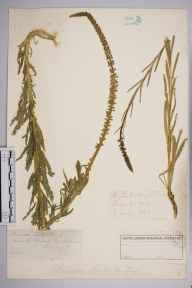 Reseda luteola herbarium specimen from North Camp, VC17 Surrey in 1885 by Mr William Hadden Beeby.
