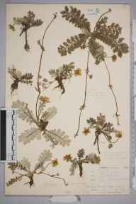 Potentilla anserina herbarium specimen from Kynance, VC1 West Cornwall in 1899 by Mr Allan Octavian Hume.