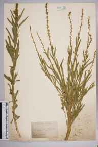 Reseda luteola herbarium specimen from Steephill, VC10 Isle of Wight in 1838.