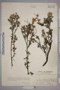 Potentilla fruticosa herbarium specimen from River Tees at High Force, VC66 County Durham in 1927 by Mr Job Edward Lousley.