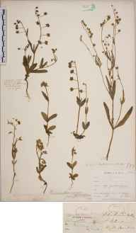 Tuberaria guttata herbarium specimen from Alderney, VC113 Channel Islands in 1902 by Mr Cecil Prescott Hurst.