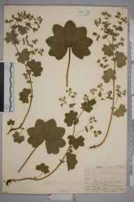 Alchemilla vulgaris herbarium specimen from Hort. Norwood, VC17 Surrey in 1909 by William Henry Griffin.