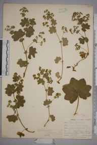 Alchemilla vulgaris herbarium specimen from Ponsanooth, VC1 West Cornwall in 1901 by Mr Frederick Hamilton Davey.