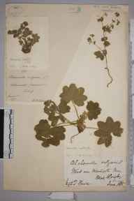 Alchemilla filicaulis herbarium specimen from Holmwood Common, VC17 Surrey in 1887 by Mr Walter Waters Reeves.