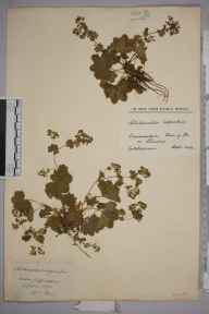 Alchemilla glabra herbarium specimen from Cwm y glo, VC49 Caernarvonshire in 1924 by William Robert Sherrin.