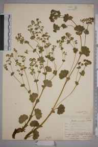 Alchemilla glabra herbarium specimen from Teesdale,Langdon Beck, VC66 County Durham in 1903 by Mr Allan Octavian Hume.