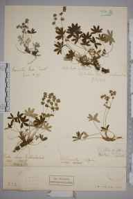 Alchemilla alpina herbarium specimen from Honister Pass, VC70 Cumberland in 1895 by Henry Franklin Parsons.