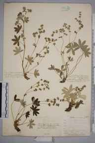 Alchemilla alpina herbarium specimen from Ben Lawers, VC88 Mid Perthshire in 1908 by William Henry Griffin.