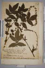 Agrimonia eupatoria herbarium specimen from Ventnor, VC10 Isle of Wight in 1917 by Charles Baylis Green.