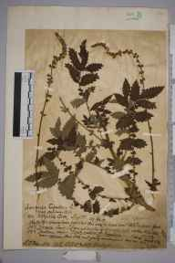 Agrimonia eupatoria herbarium specimen from Steephill Cove, VC10 Isle of Wight in 1917 by Charles Baylis Green.