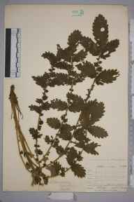 Agrimonia eupatoria herbarium specimen from Farthing Downs, VC17 Surrey in 1904 by William Henry Griffin.