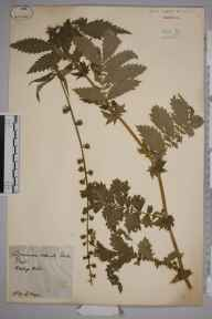 Agrimonia procera herbarium specimen from Warboys Wood, VC31 Huntingdonshire in 1879 by Mr Alfred Fryer.