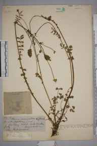Sanguisorba minor herbarium specimen from Leek Wootton, VC38 Warwickshire in 1884 by Mr Henry Bromwich.