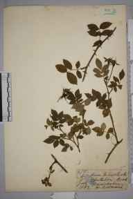 Rosa arvensis herbarium specimen from Chesterton Wood, VC38 Warwickshire in 1882 by Mr Henry Bromwich.