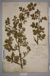 Rosa spinosissima x mollis = R. x sabinii herbarium specimen from Giggleswick, VC64 Mid-west Yorkshire in 1888 by Rachel Ford Thompson.