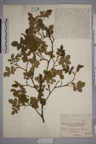 Rosa stylosa x canina = R. x andegavensis herbarium specimen from Bampton, VC23 Oxfordshire in 1934 by Percival George Beak.