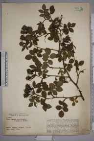 Rosa canina herbarium specimen from Fawke Common, VC16 West Kent in 1925.