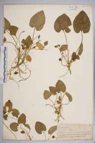 Viola odorata herbarium specimen from Lewes, VC14 East Sussex in 1845 by Joseph Woods.