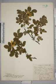 Rosa mollis herbarium specimen from Wynch Bridge, VC65 North-west Yorkshire in 1927 by Mr Job Edward Lousley.