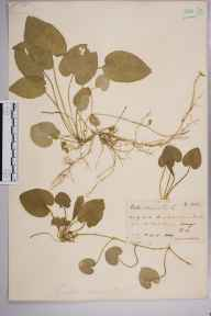 Viola odorata herbarium specimen from Brook, VC17 Surrey in 1889 by Rev. Edward Shearburn Marshall.