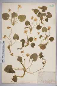 Viola odorata herbarium specimen from Steephill, VC10 Isle of Wight in 1838 by A Hamburgh.
