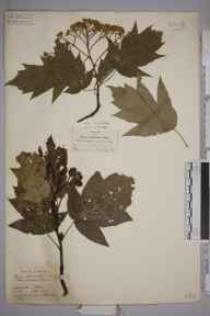 Sorbus torminalis herbarium specimen from Coggeshall, VC19 North Essex in 1902 by William Robert Sherrin.