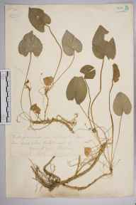 Viola odorata x hirta = V. x scabra herbarium specimen from Merstham, VC17 Surrey in 1878 by Mr William Hadden Beeby.