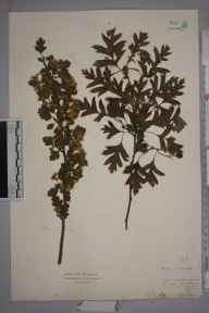 Crataegus monogyna herbarium specimen from Oxford, VC23 Oxfordshire in 1930 by Mr Isaac A Helsby.