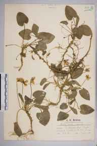 Viola odorata x hirta = V. x scabra herbarium specimen from Walton on the Hill, VC17 Surrey in 1900 by Mr Charles Edward Britton.