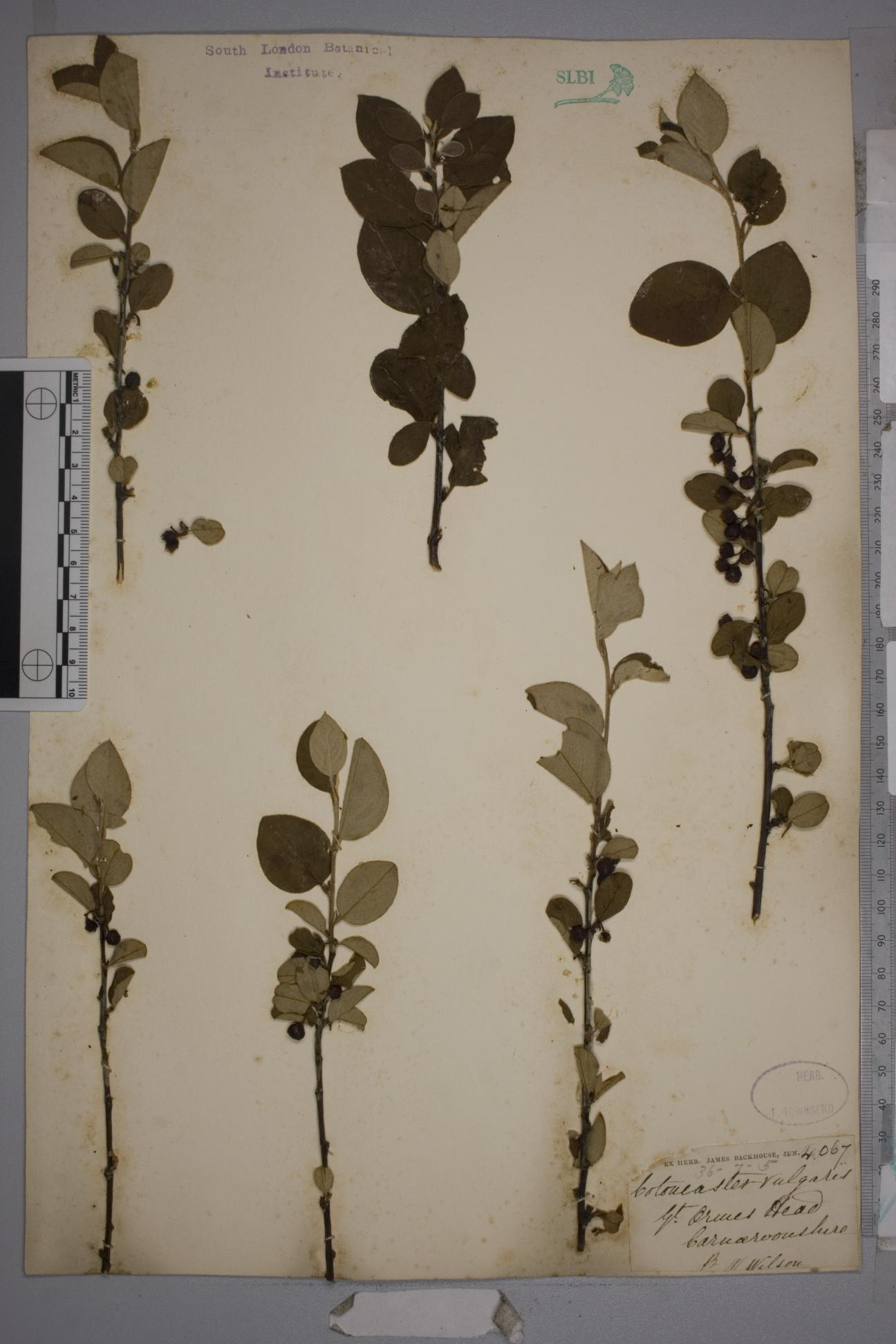 Cotoneaster cambricus herbarium specimen from Great Orme's Head, VC49 Caernarvonshire by Mr William Wilson.