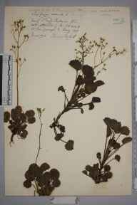 Saxifraga hirsuta herbarium specimen from Glen Caragh, VCH1 South Kerry in 1903 by Mr James Cosmo Melvill.