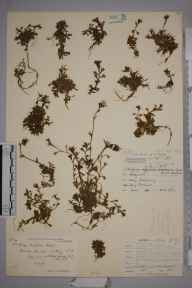 Saxifraga rosacea herbarium specimen from Brandon Mountain, VCH1 South Kerry in 1902 by Rev. Edward Shearburn Marshall.