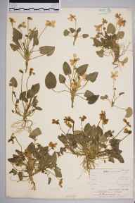 Viola hirta herbarium specimen from Stoke, VC34 West Gloucestershire by Mr Frederick Townsend.