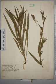 Oenothera odorata herbarium specimen from Christchurch, VC11 South Hampshire in 1915 by Charles Baylis Green.