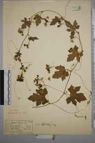 Bryonia dioica herbarium specimen from Great Bookham Common, VC17 Surrey in 1954 by Mrs Joan Frances Hall.