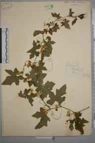 Bryonia dioica herbarium specimen from Boxley Hills, VC15 East Kent in 1879 by Mr William Hadden Beeby.